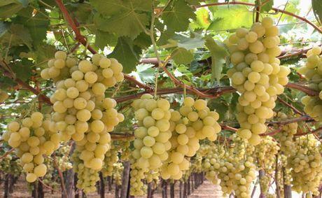 Italia üzüm çeşidi