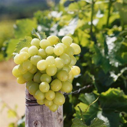 Amasya beyazı üzüm çeşidi