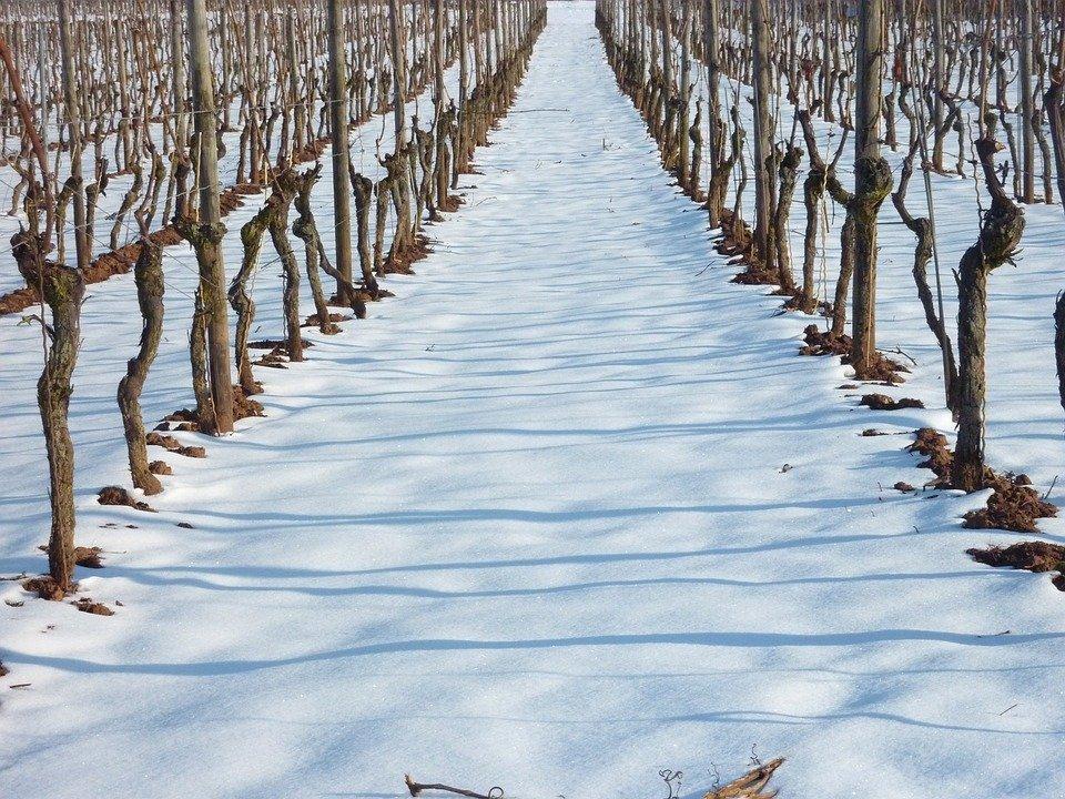Kış zamanı üzüm bağı