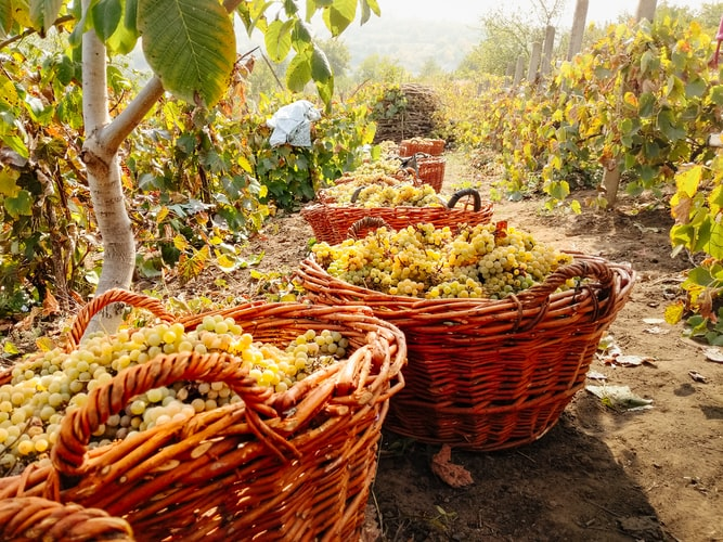 Hasat edilmiş üzümler