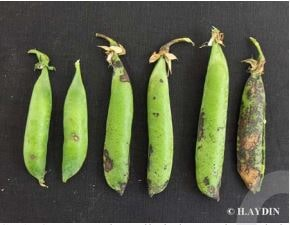 Şekil 3. Meyve kapsüllerinde görülen çökük, oval lekeler