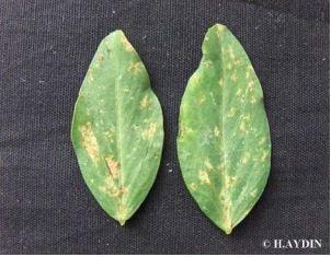 Şekil 2. Yapraklarda lokal enfeksiyon sonucu damarlarla sınırlandırılmış lekeler
