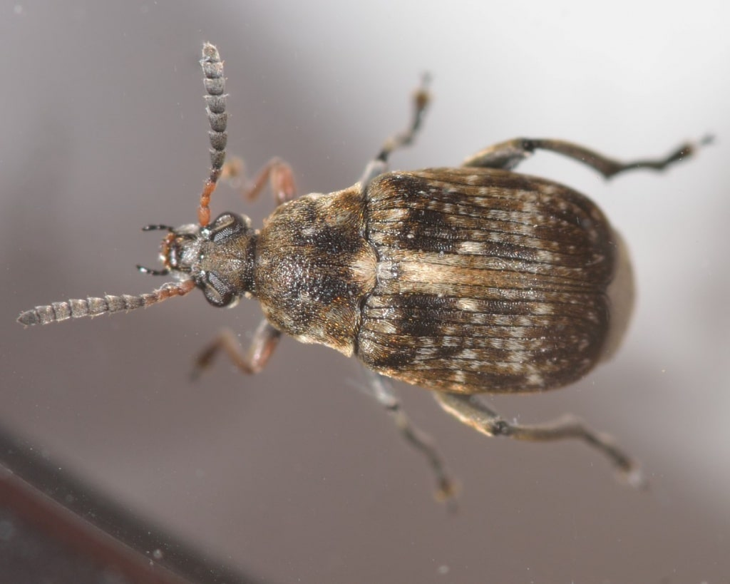 Bakla Tohum Böceği (Bruchus rufimanus)
