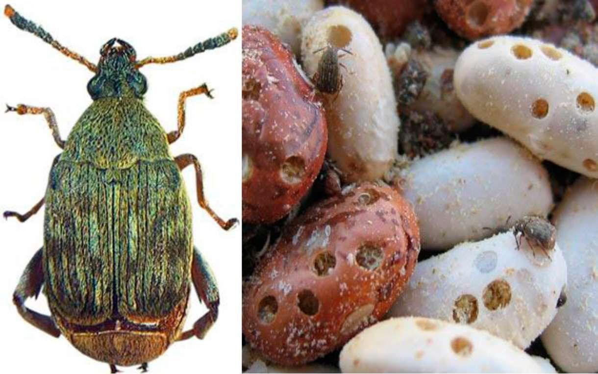 Fasulye Tohum Böceği (Acanthoscelidesobtectus) ve Zararı