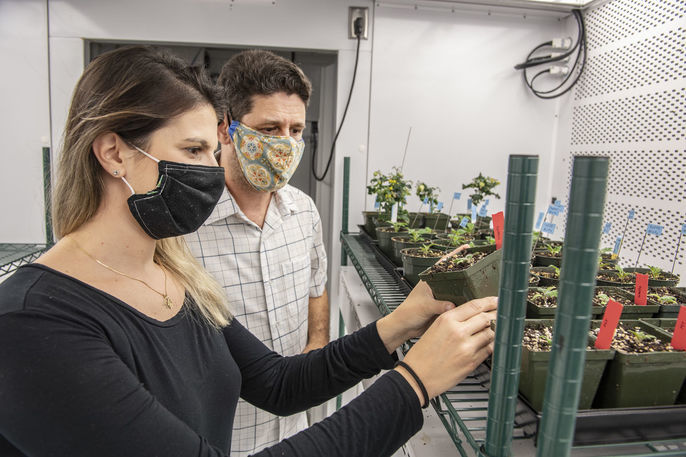 Batı Virginia Üniversitesi araştırmacıları, böceklere karşı direnç özelliğine sahip domateslerin gelişimini gözlemliyor.