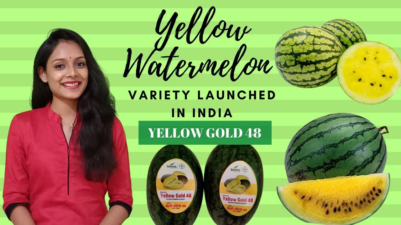Alman tarım kimyasalları devi Bayer, Seminis markası altında Hindistan'da ilk sarı karpuz çeşidi Yellow Gold 48'i (Sarı Altın 48) piyasaya sürdü.