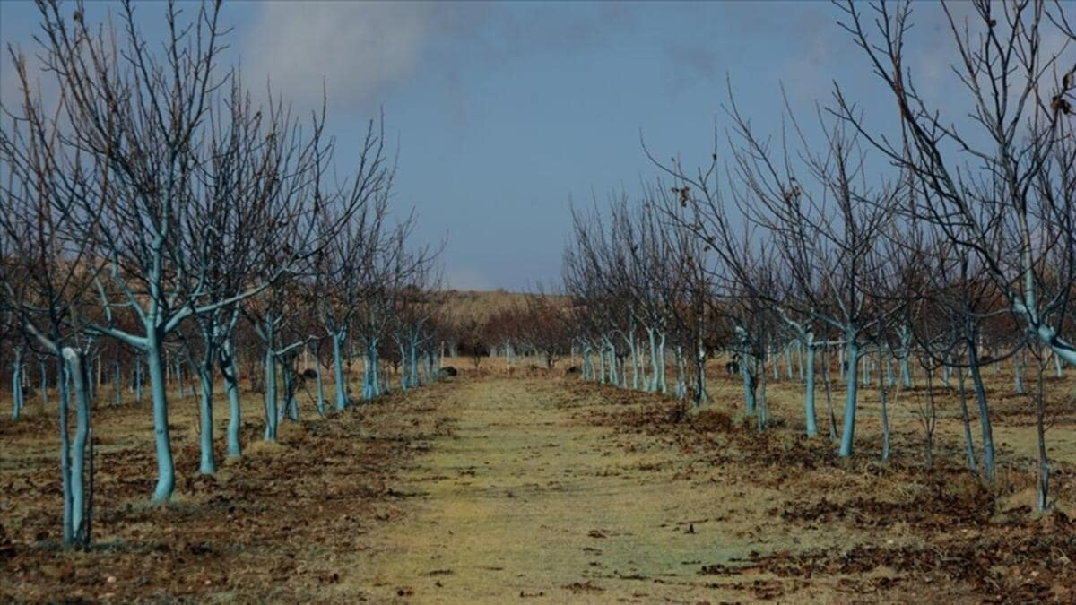 Bordo bulamacı uygulanmış ağaçlar