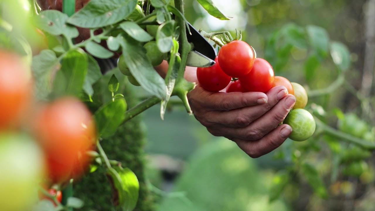 Türkiye'de biber ve domates tohumlarının %60-70'i yerli ve milli firmalar tarafından üretiliyor.