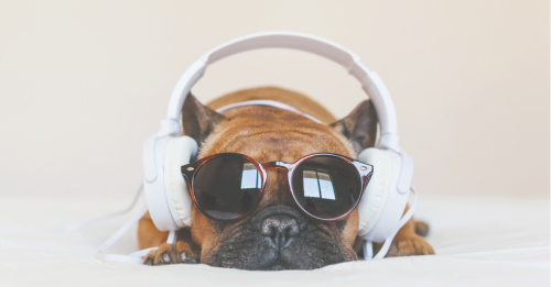 Somber brown french bulldog lays on bed with sunglasses and white headphones
