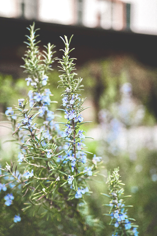 fresh rosemary in bloom with fragrant purple flowers for funeral bouquet