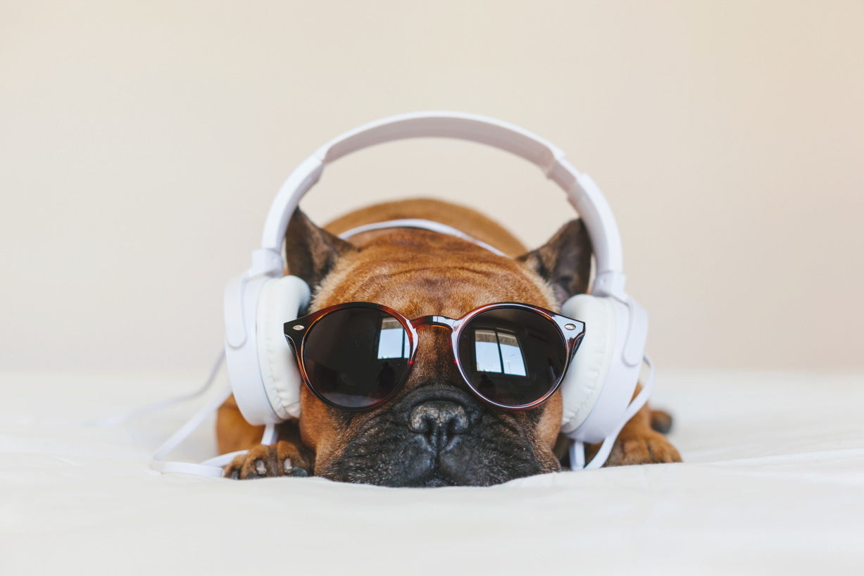 Brown French bulldog lounges melancholy wearing sunglasses and white headphones