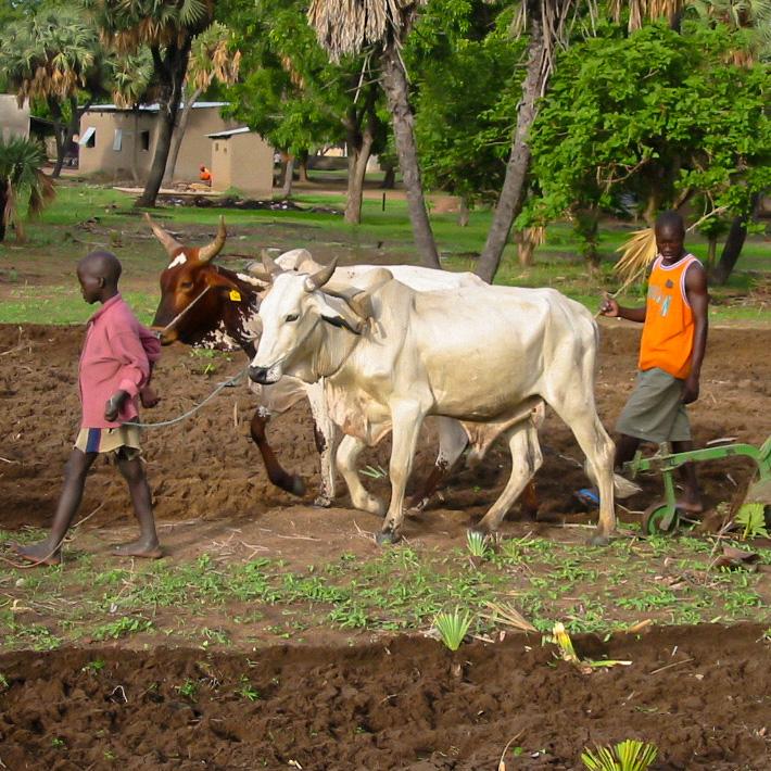 Anteil an eine Kuh für eine Familie