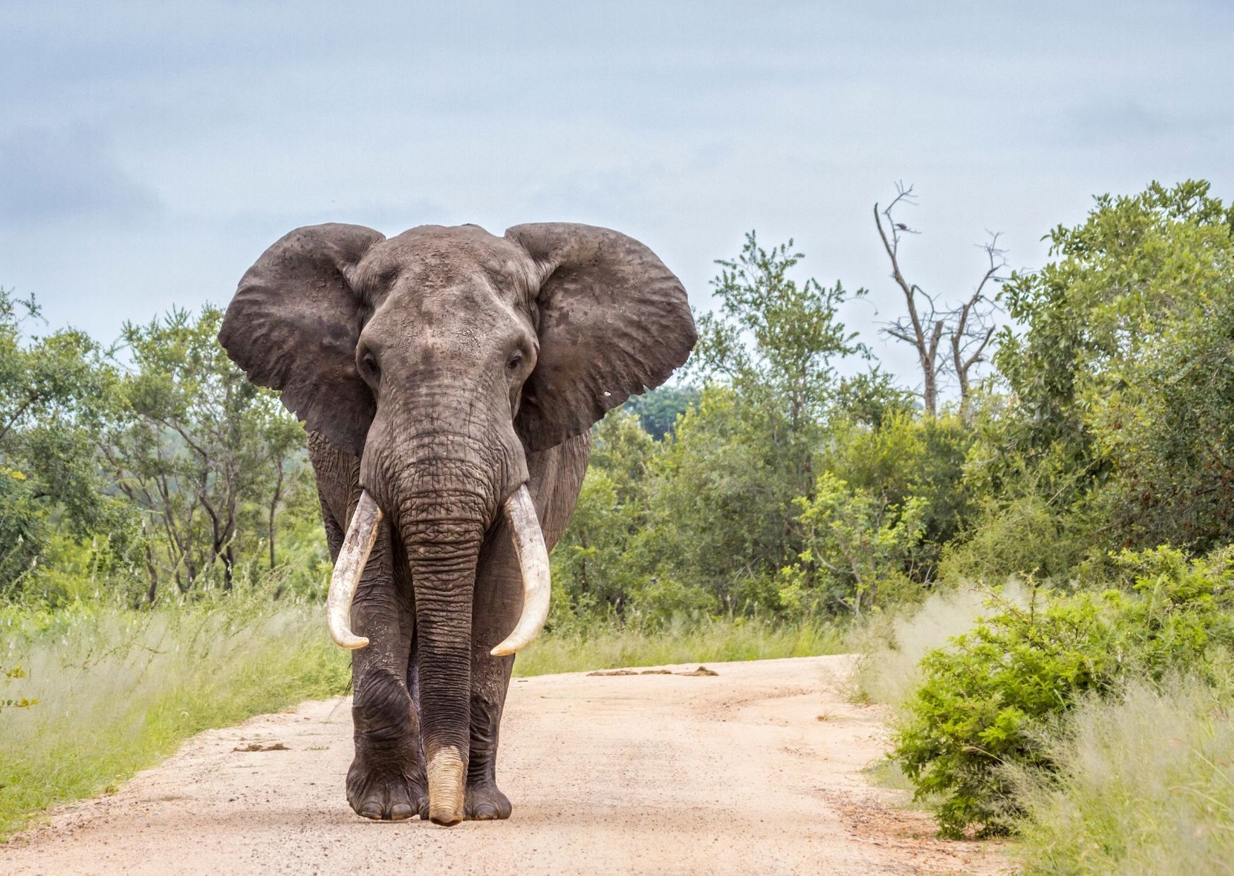 African elephant walking on a dirt rack surrounded by green trees and bushes