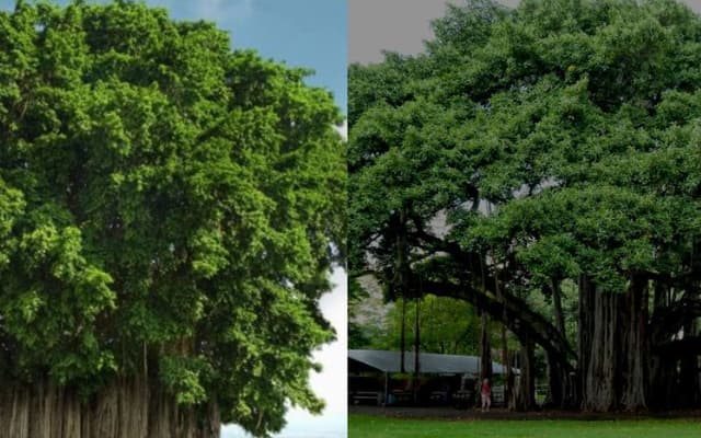 The Shape of a Banyan Tree Decides a Whole Lot!