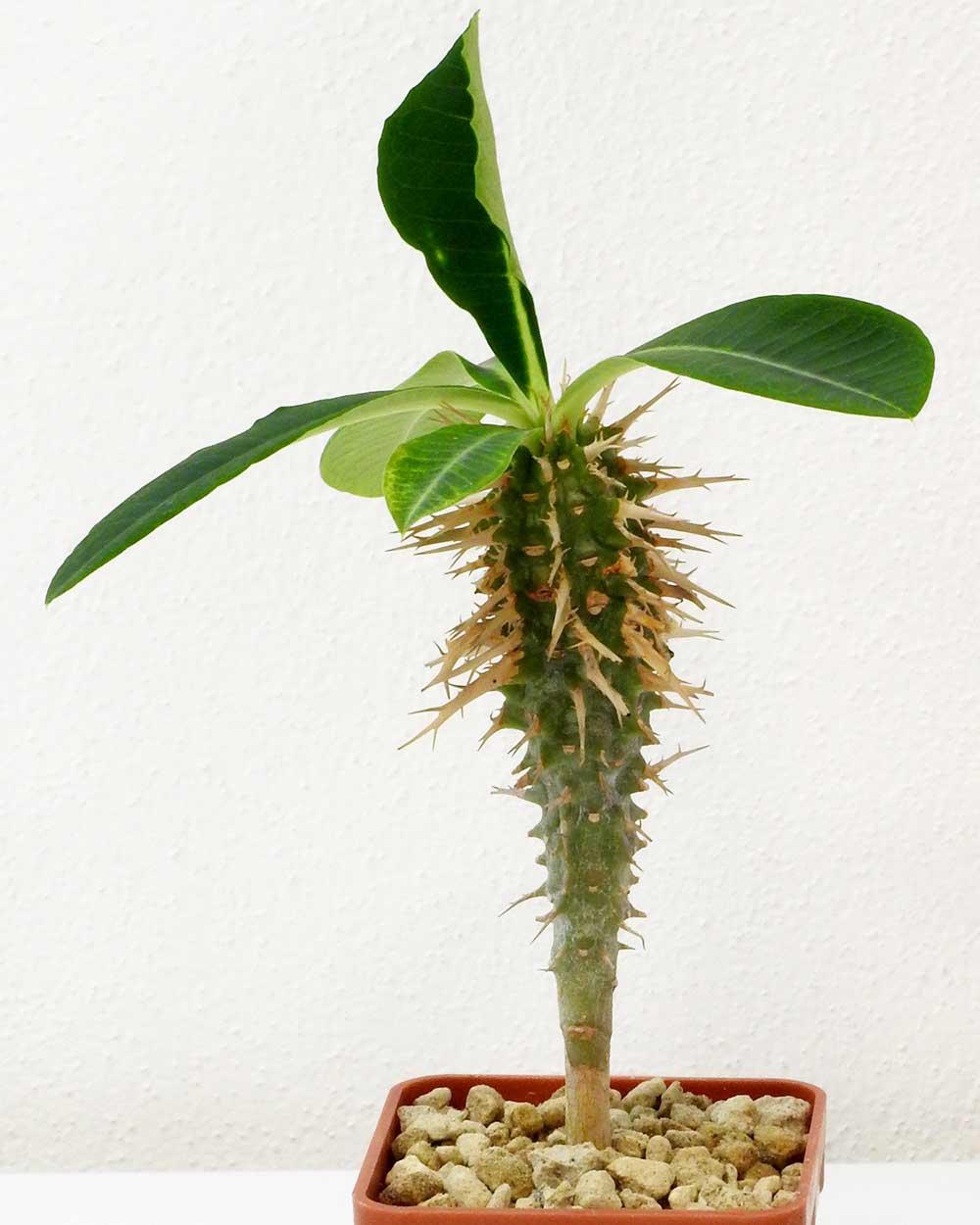 Euphorbia viguieri capuronii – Small