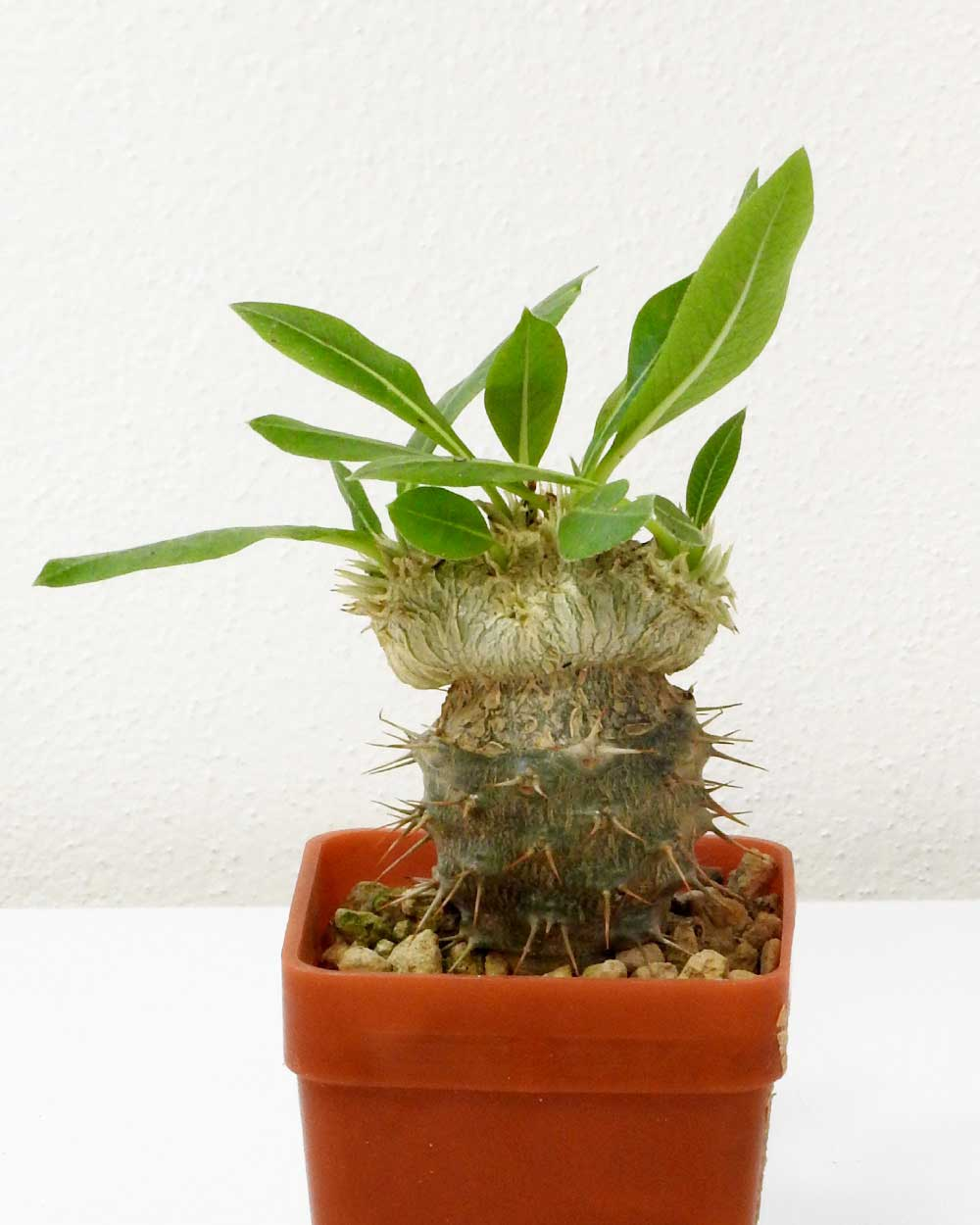 Pachypodium brevicaule – Grafted
