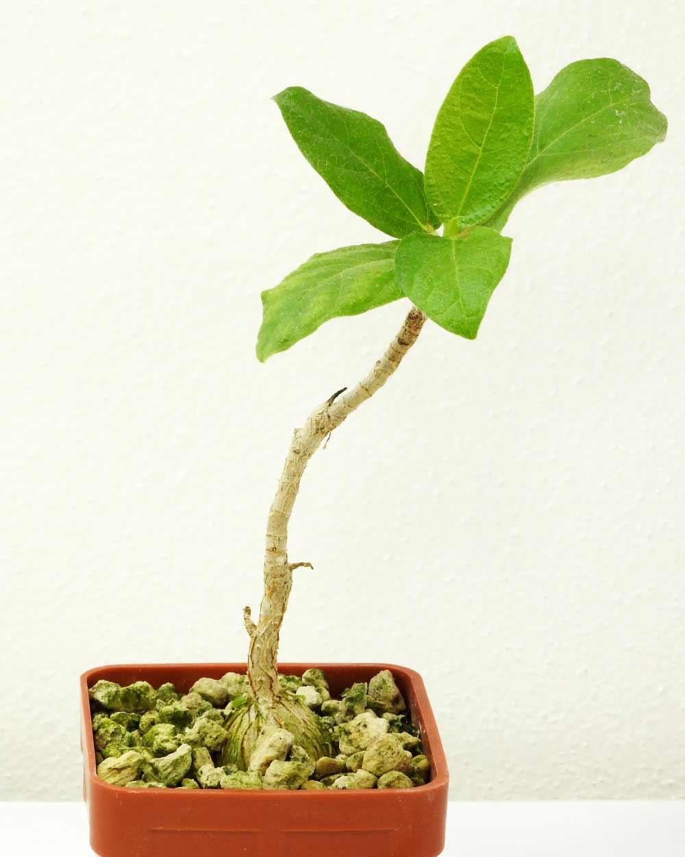 Ficus sp. Oman