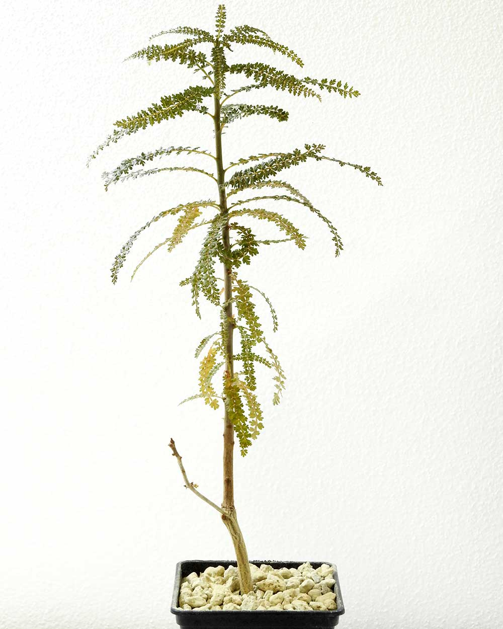 Boswellia socotrana – Big