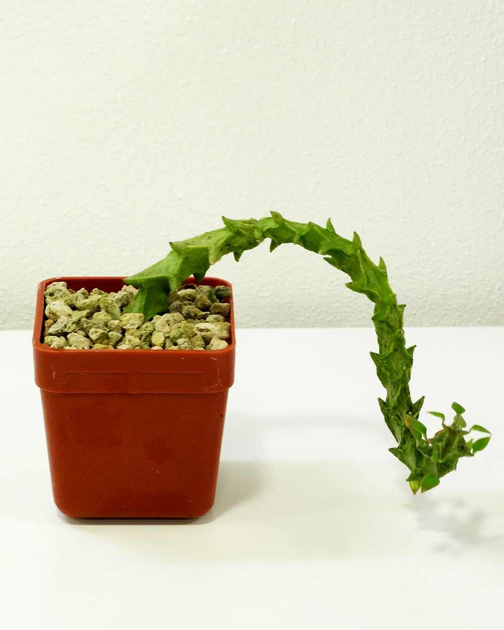 Ceropegia simoneae – green form