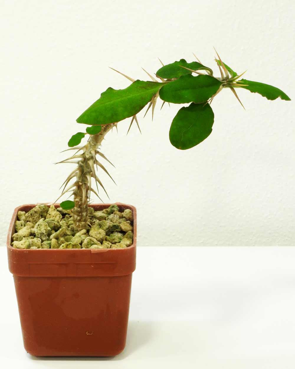 Euphorbia retrospina