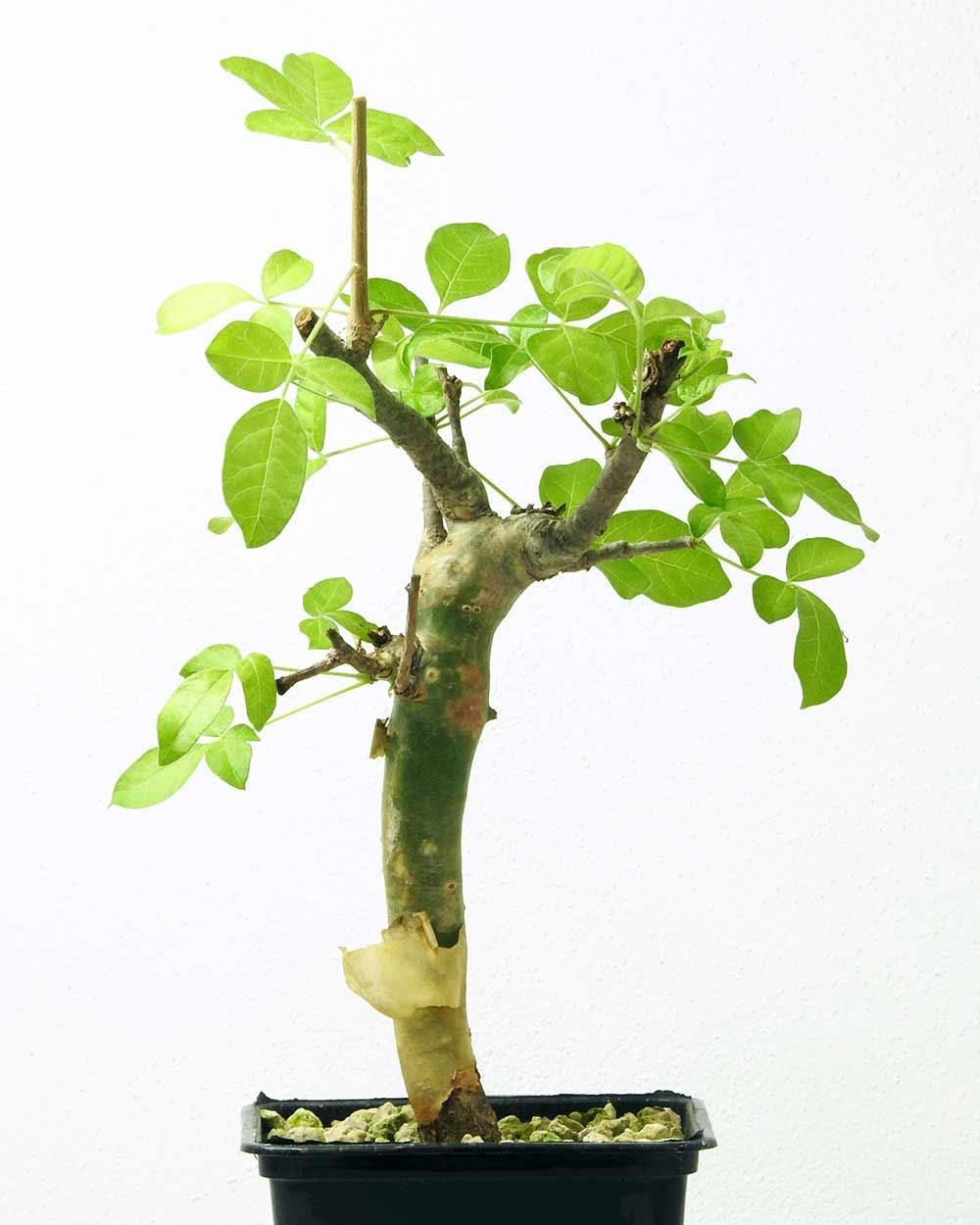 Commiphora gileadensis – Import