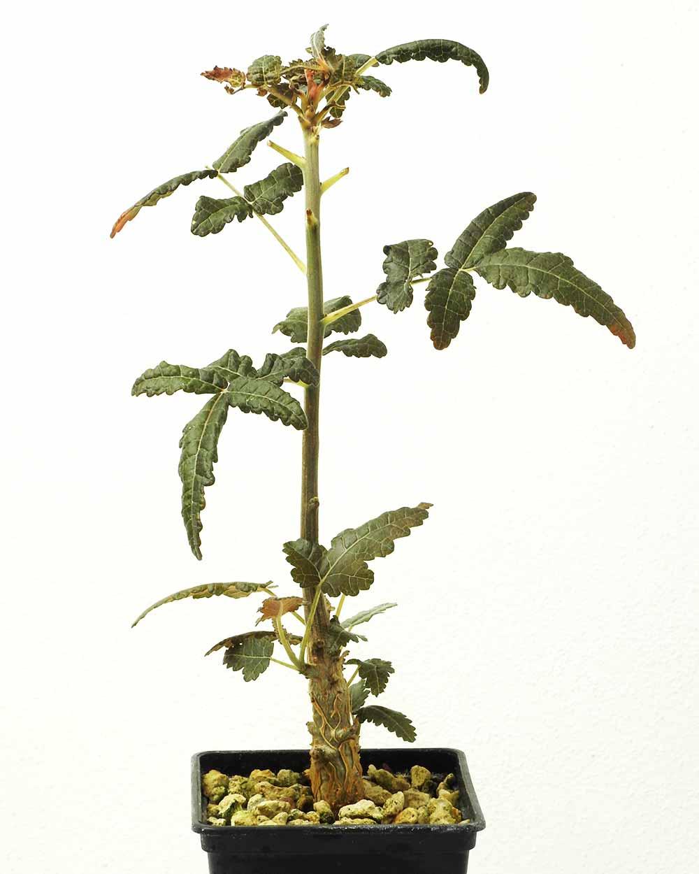 Boswellia ameero