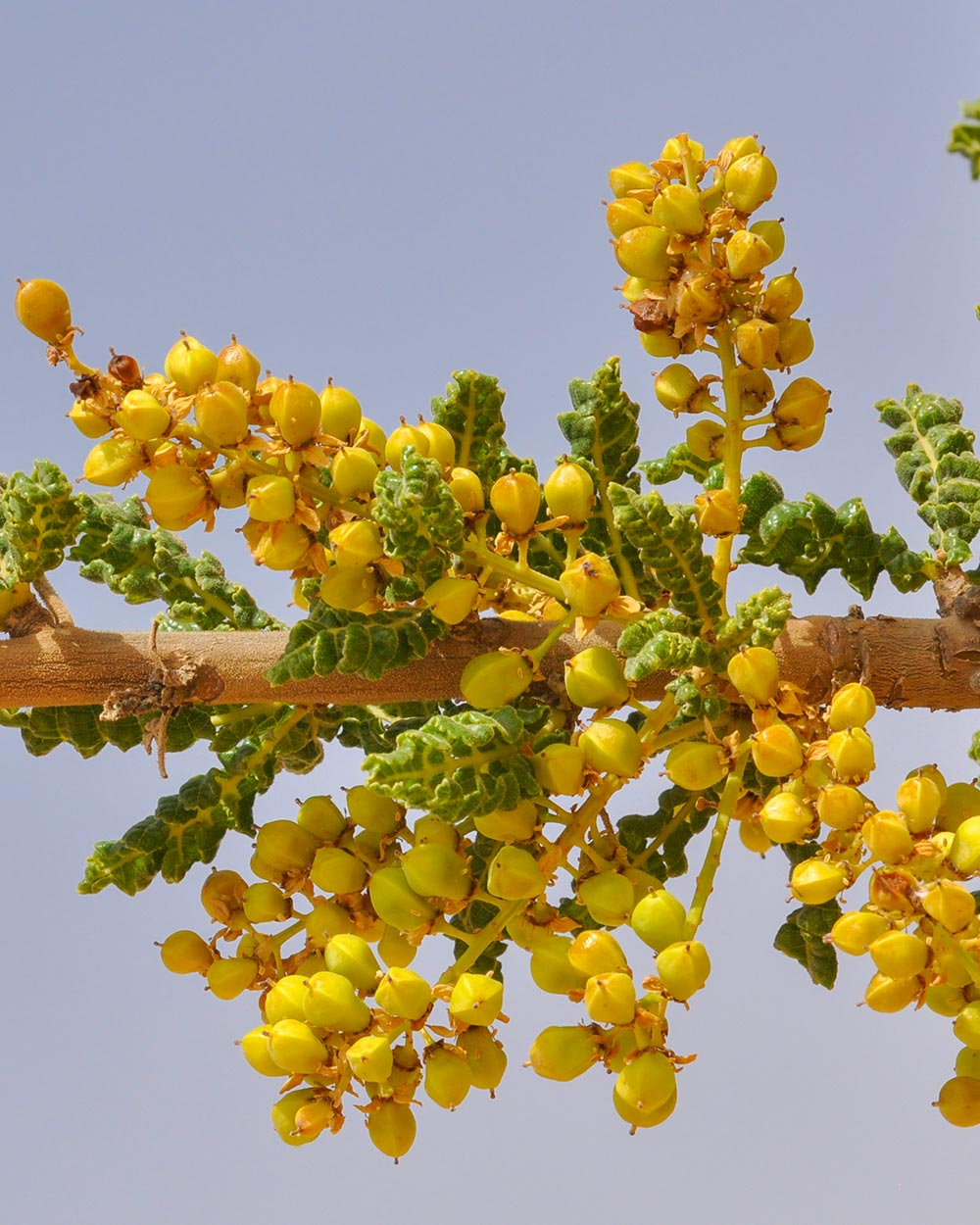 Seeds of Boswellia sacra
