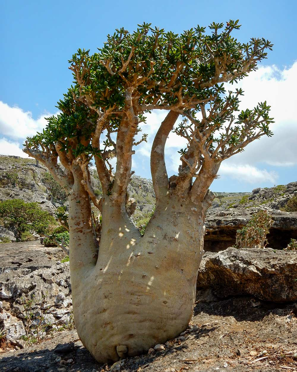 Mature plant of Dorstenia gigas on Socotra Island, Yemen