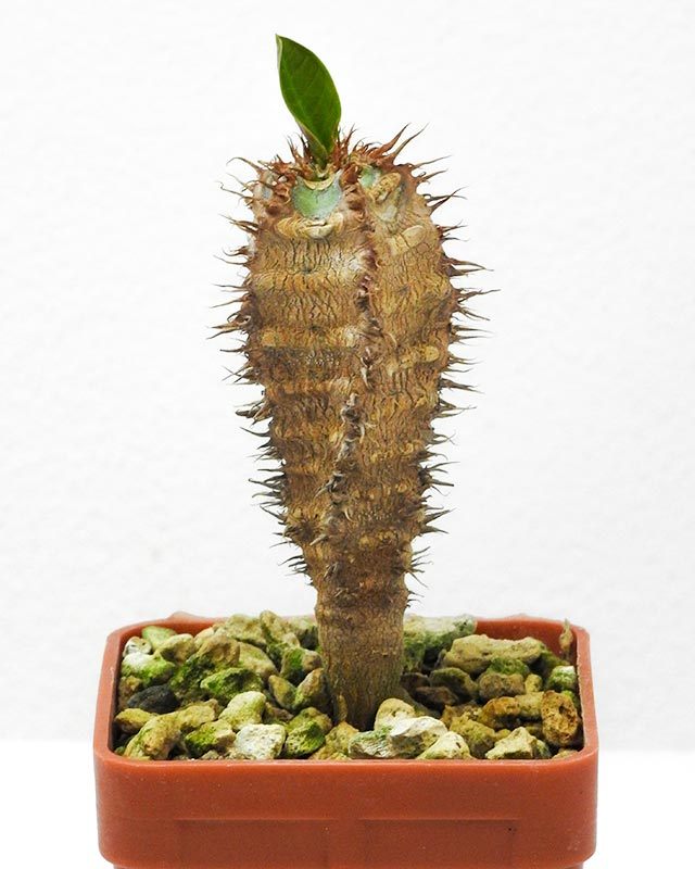 Euphorbia aureoviridiflora