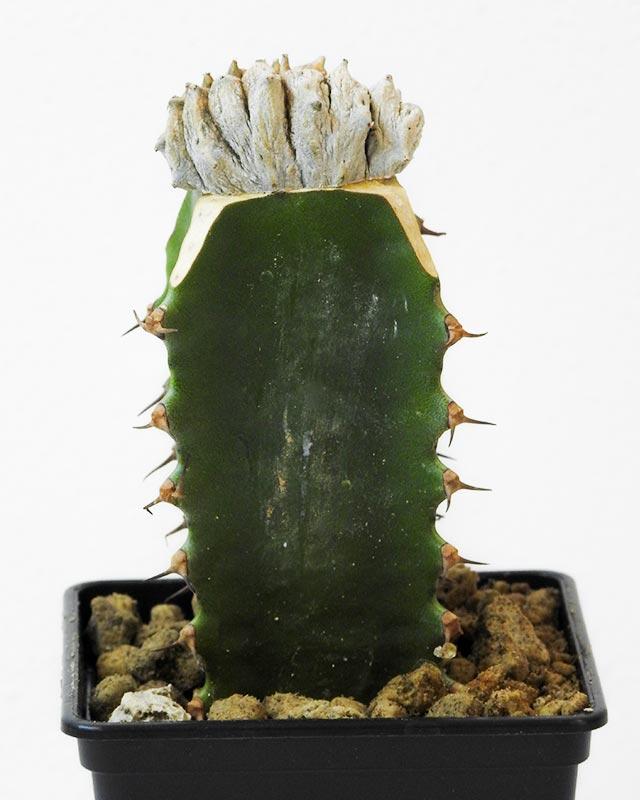 Euphorbia abdelkuri – Crested