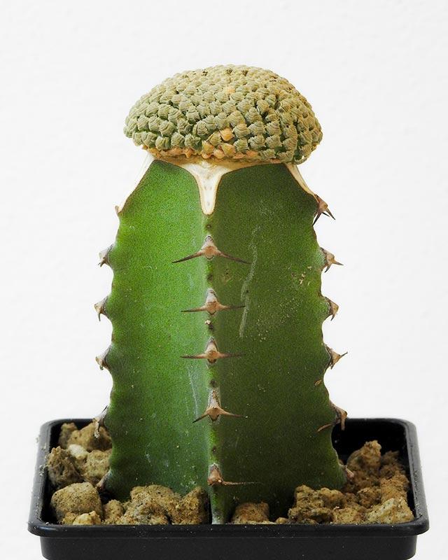 Euphorbia piscidermis – Crested