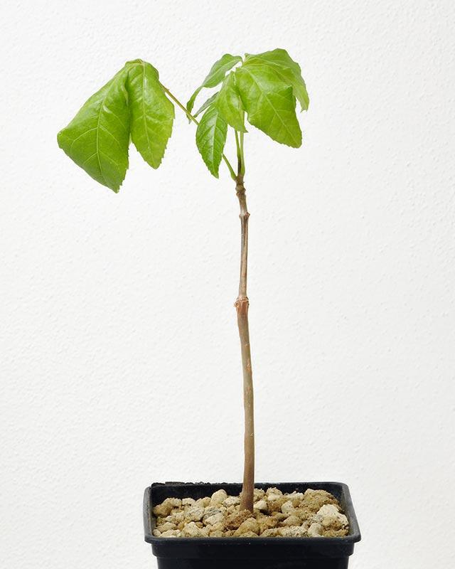 Commiphora mildbraedii