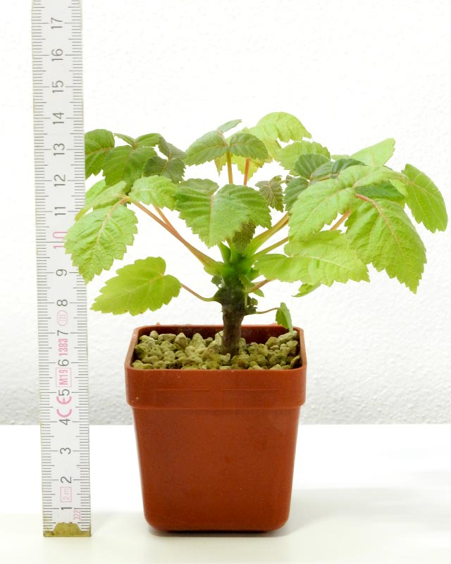 Beiselia mexicana seedling with a meter
