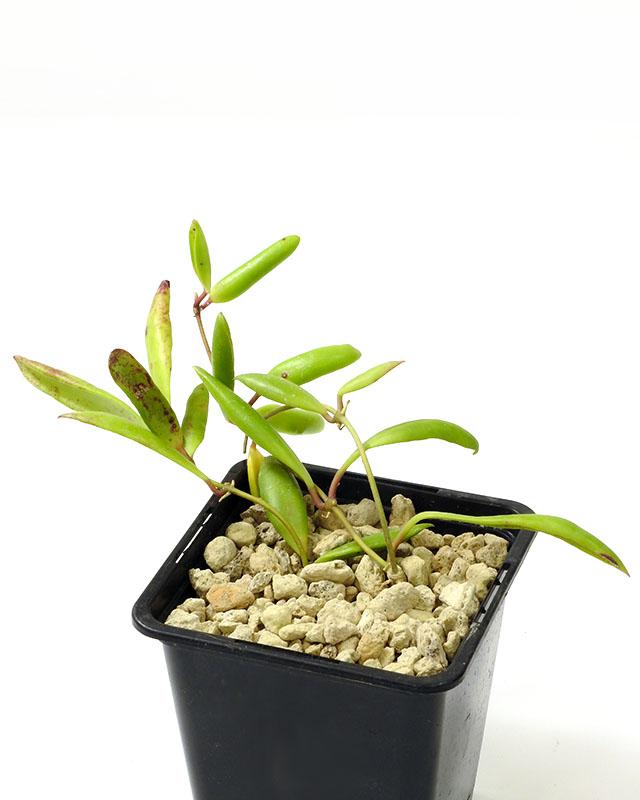 Hoya loherii
