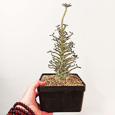 Dorstenia gigas bullata seedling from Socotra
