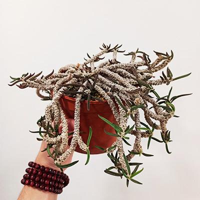 Euphorbia capsaintemariensis