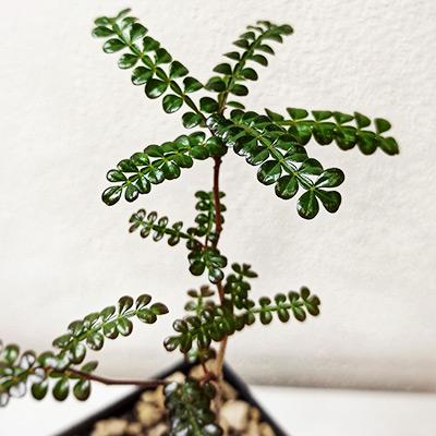Operculicarya decaryi seedling
