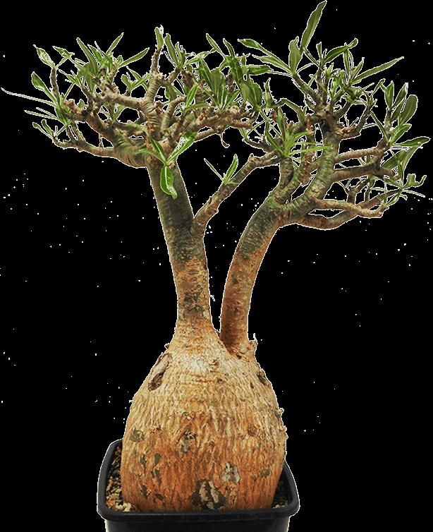 A beautiful mature plant of Adenium somalense