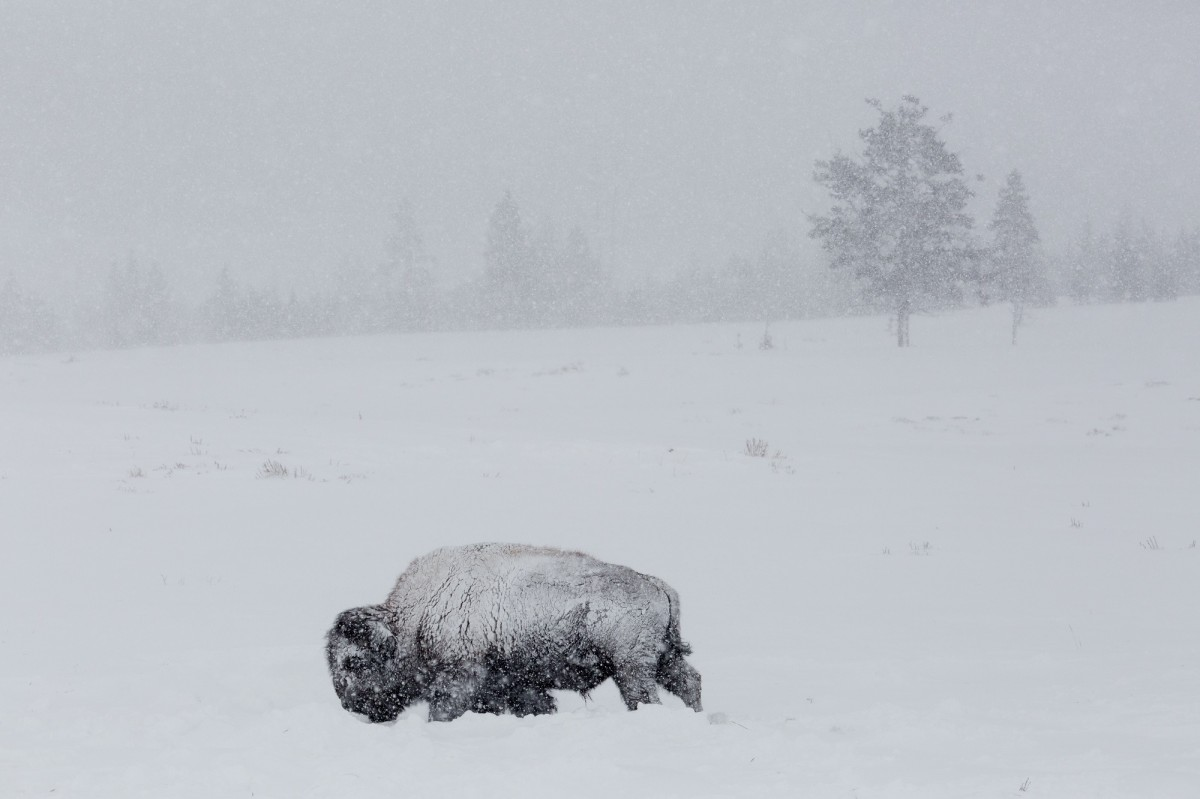 A bison stands in snow