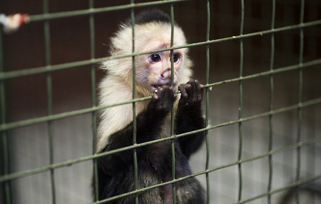A monkey looking out of a cage