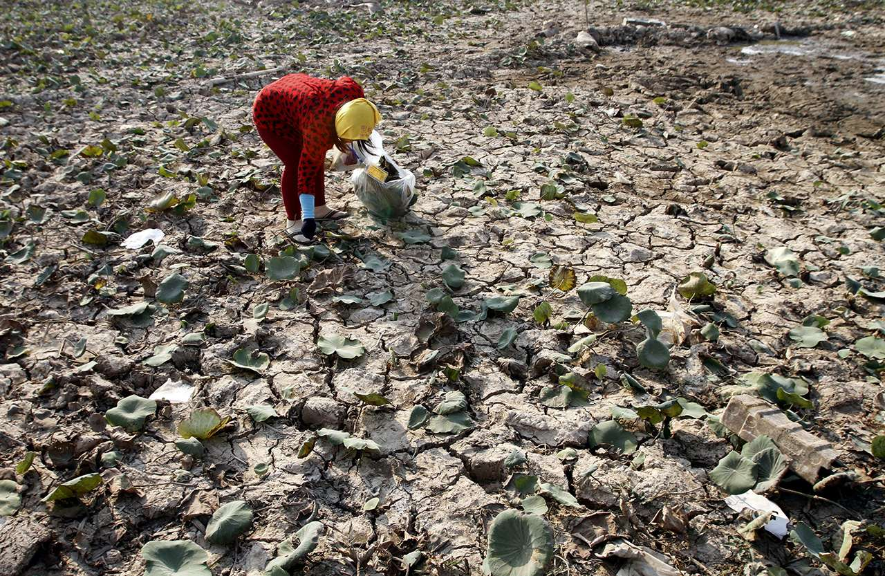 A woman picks wilted crops from parched earth