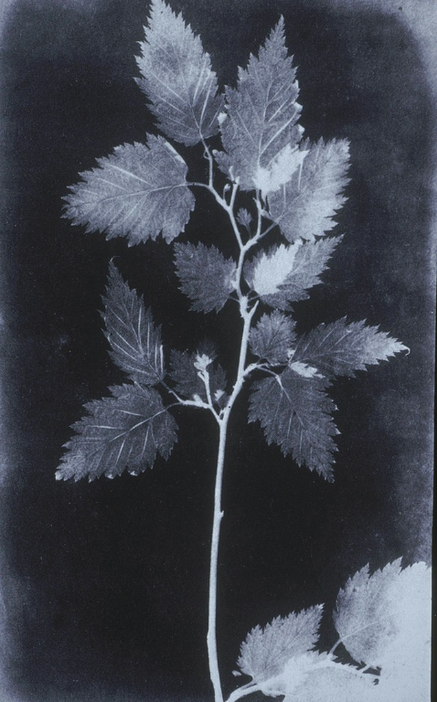 black and white botanical photograph