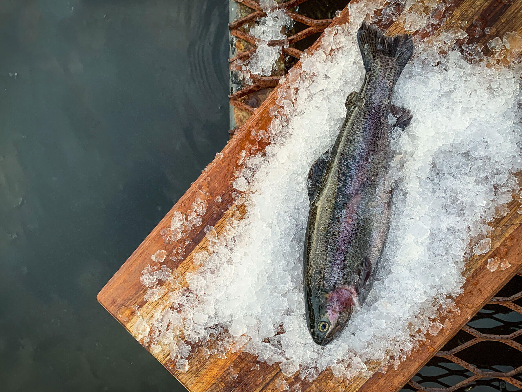 Freshwater Trout