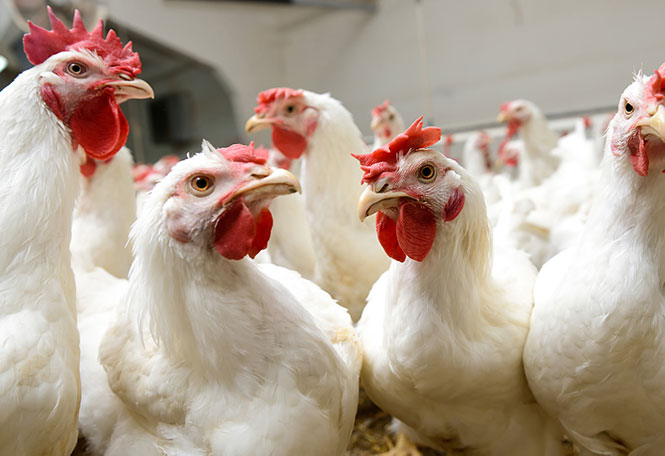 Poultry Broilers