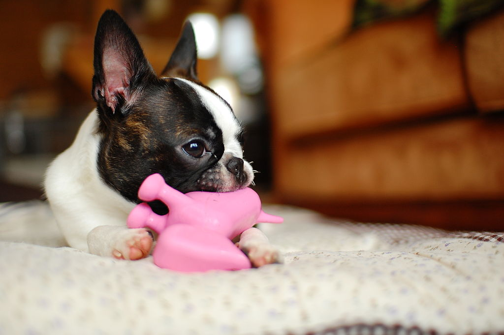 terrier with toy