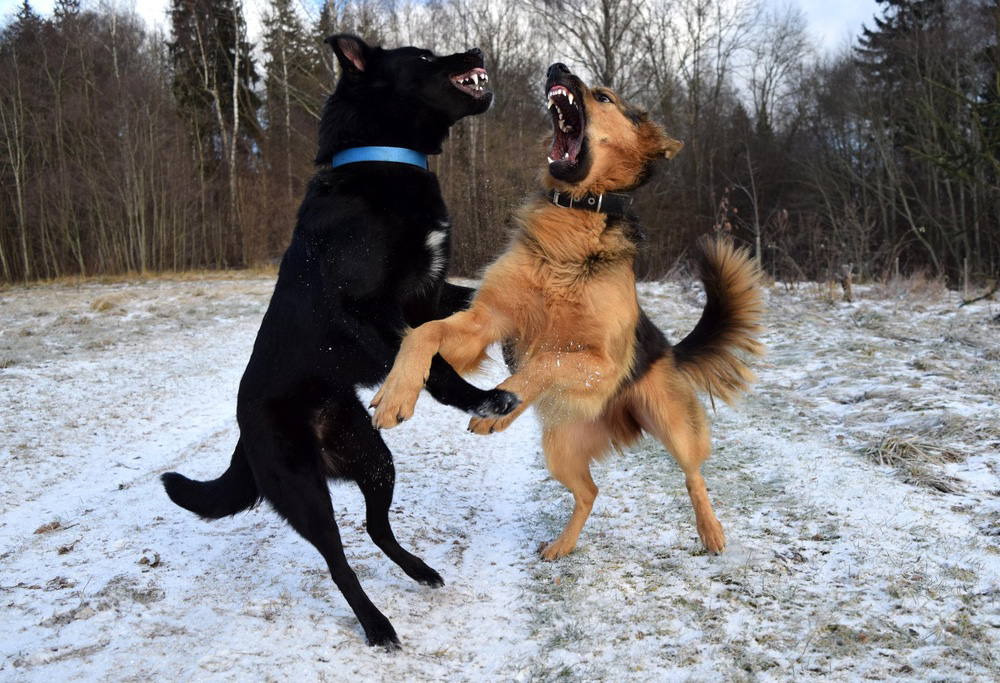 littermate syndrome dogs fighting and snarling