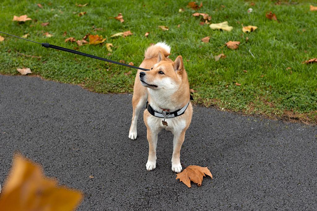 day 2 milestone routine dog walking on leash