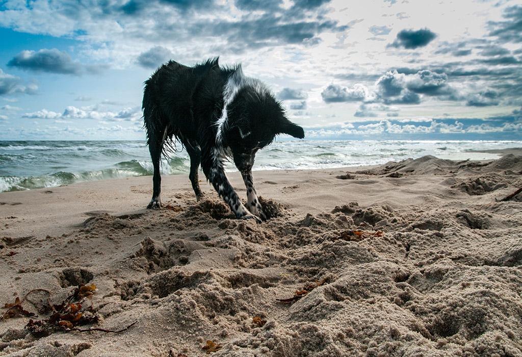 6 month adoption milestone dog digging on beach