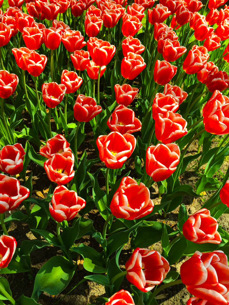 Tulips - The Hedge (Netherlands) - François B. for Photo-to-go