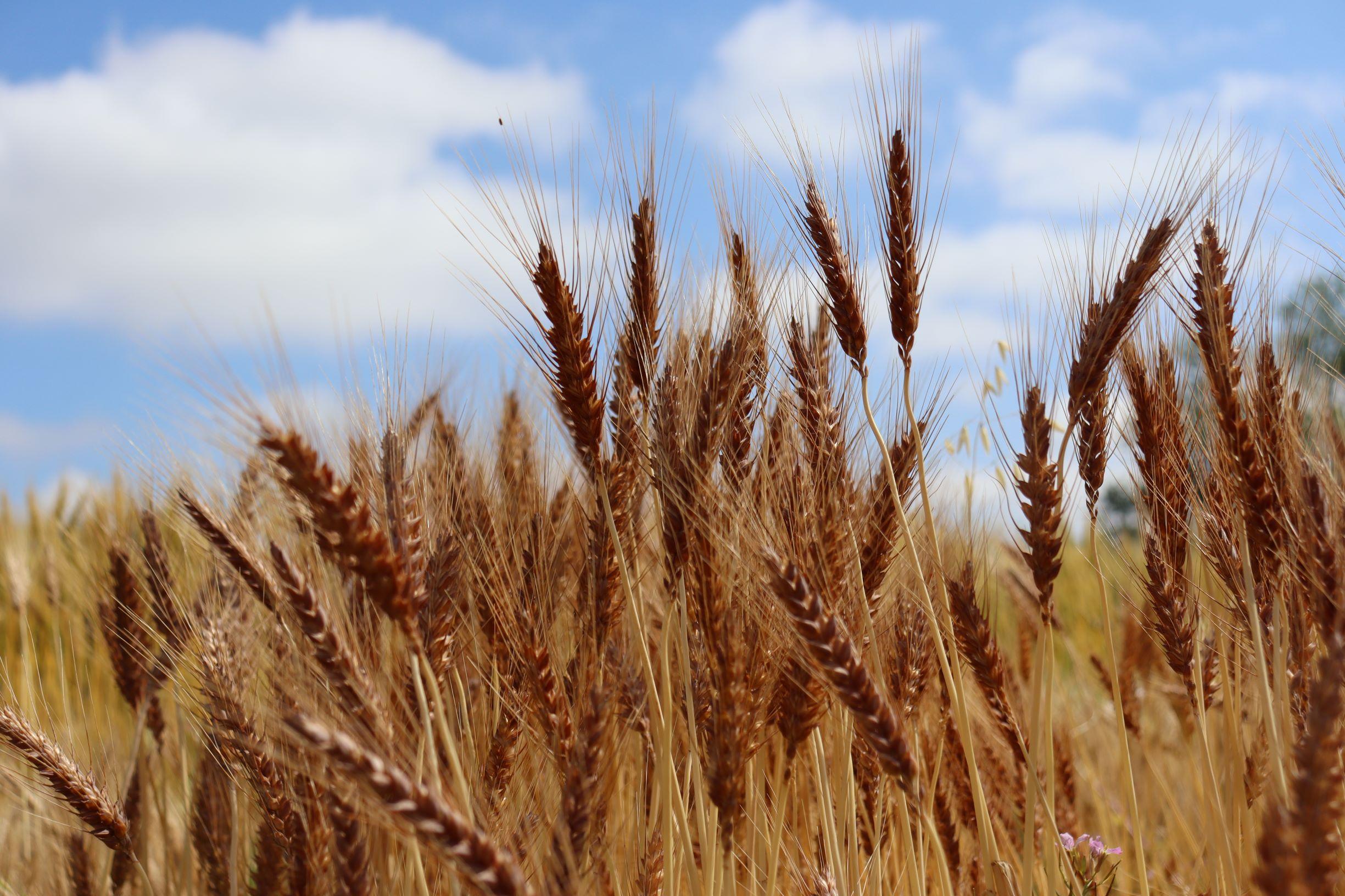 Celebrating California Whole Grains 2020